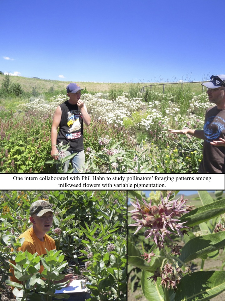 One intern collaborated with Phil Hahn to study pollinators' foraging patterns among milkweed flowers with variable pigmentation.