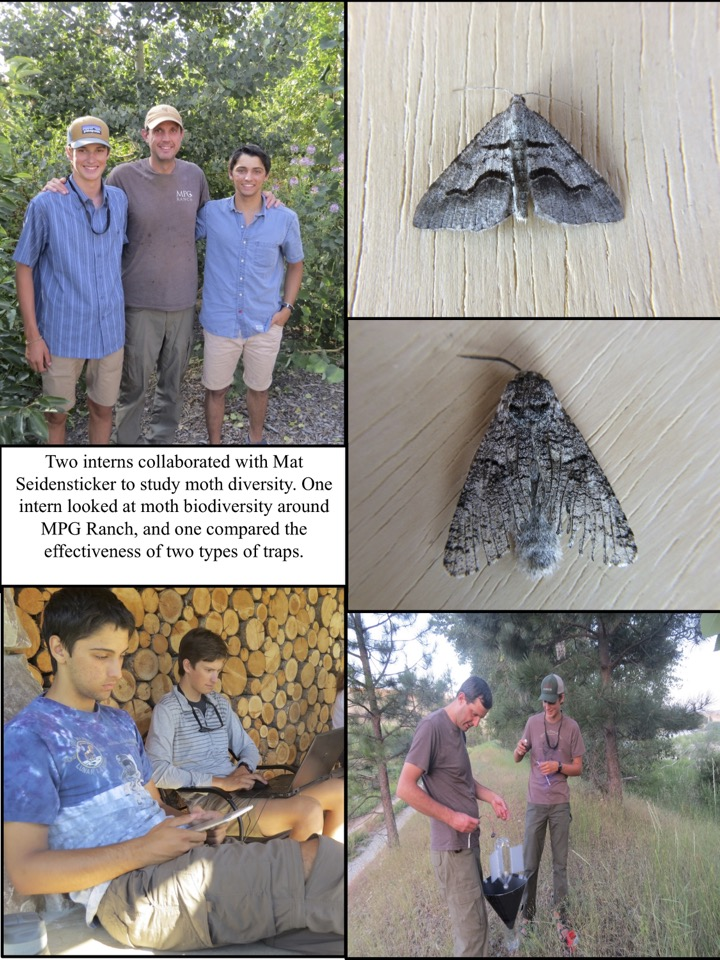 Two interns collaborated with Mat Seidensticker to study moth diversity. One intern looked at moth biodiversity around MPG Ranch, and one compared the effectiveness of two types of traps.