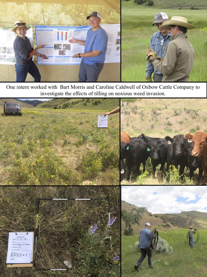 One intern worked with Bart Morris and Caroline Caldwell of Oxbow Cattle Company to investigate the effects of tilling on noxious weed invasion.