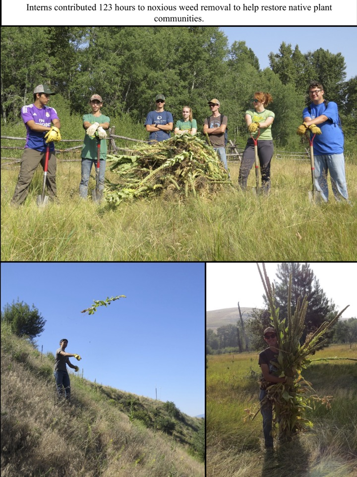 Interns contributed 123 hours to noxious weed removal to help restore native plant communities.