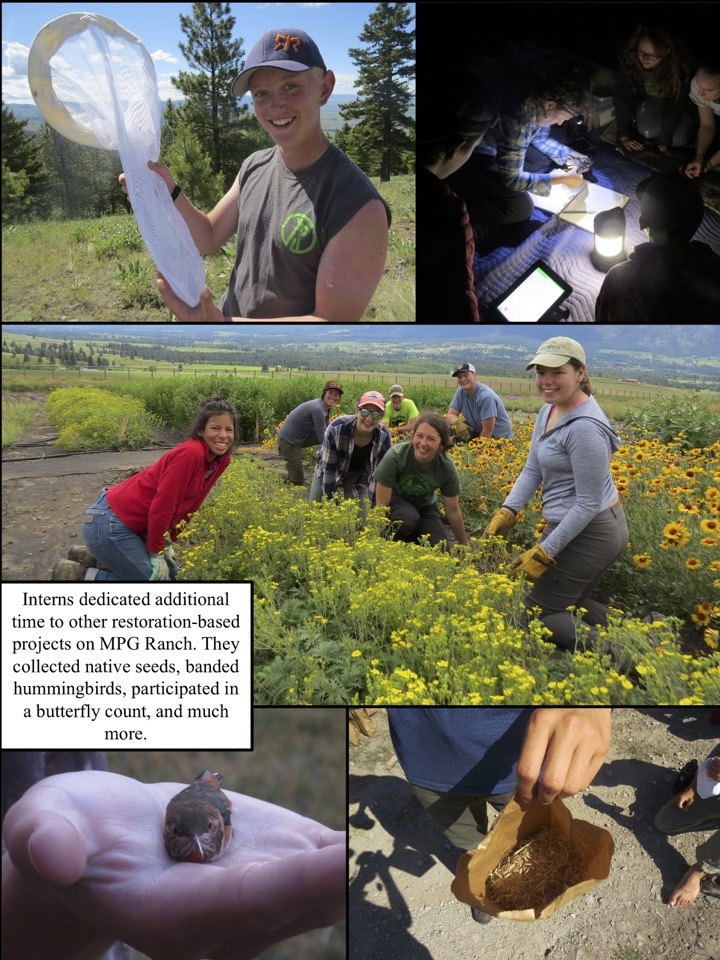 Interns dedicated additional time to other restoration-based projects on MPG Ranch. They collected native seeds, banded hummingbirds, participated in a butterfly count, and much more.