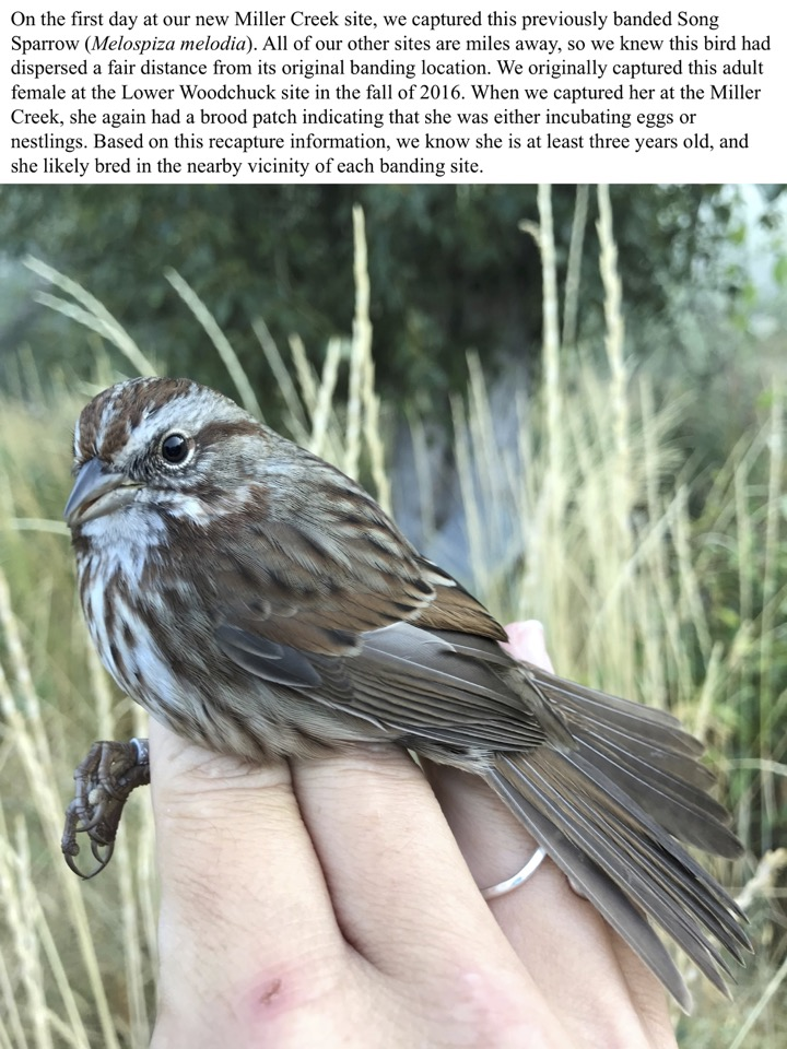 On the first day at our new Miller Creek site, we captured this previously banded Song Sparrow