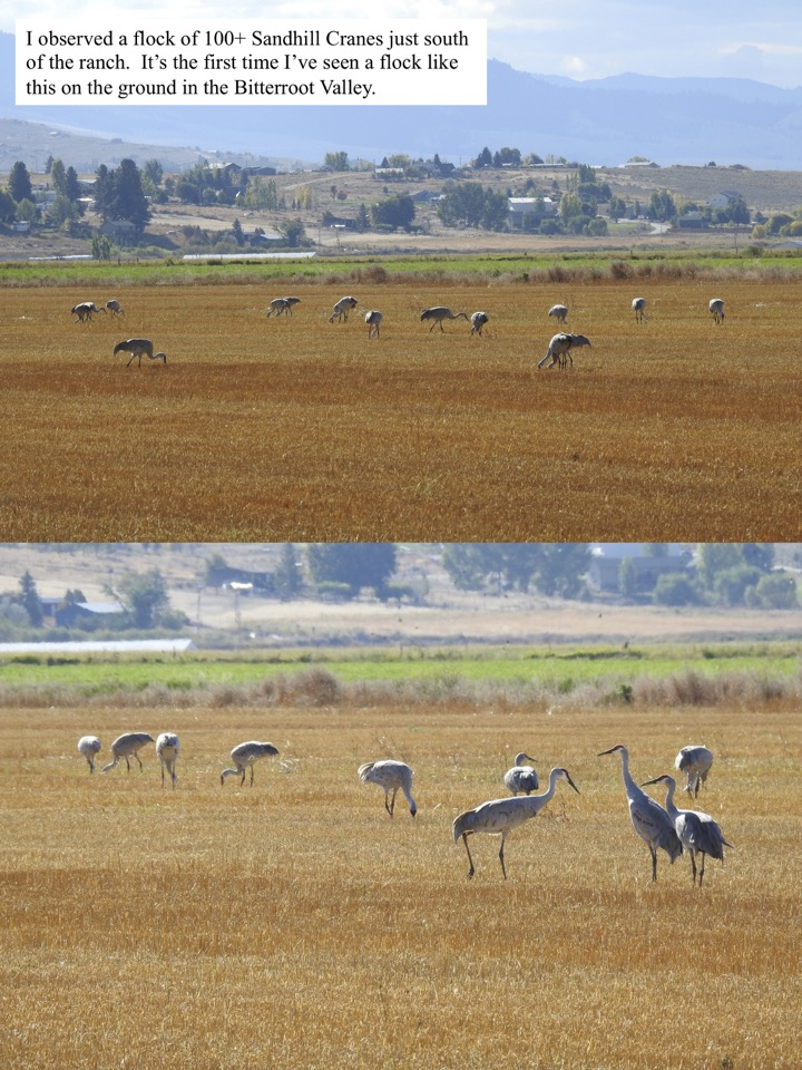 I observed a flock of 100+ Sandhill Cranes just south of the ranch.