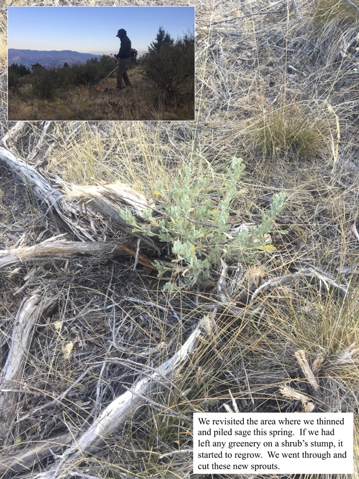 We revisited the area where we thinned and piled sage this spring.