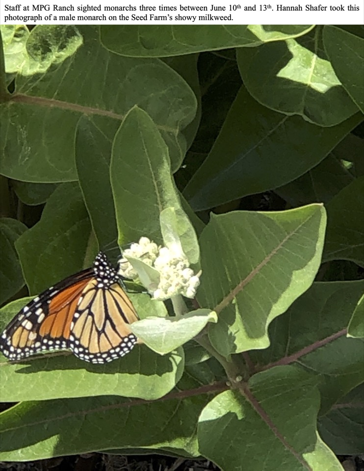 Staff at MPG Ranch sighted monarchs three times between June 10th and 13th.