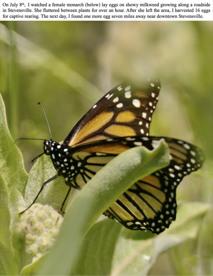 On July 8th, I watched a female monarch (below) lay eggs on showy milkweed growing along a roadside in Stevensville.
