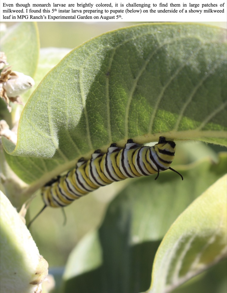Even though monarch larvae are brightly colored, it is challenging to find them in large patches of milkweed.