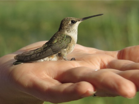 2017 volunteer hummingbird banding images 1