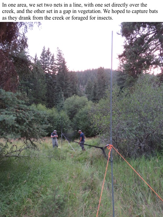 In one area, we set two nets in a line, with one set directly over the creek, and the other set in a gap in vegetation.