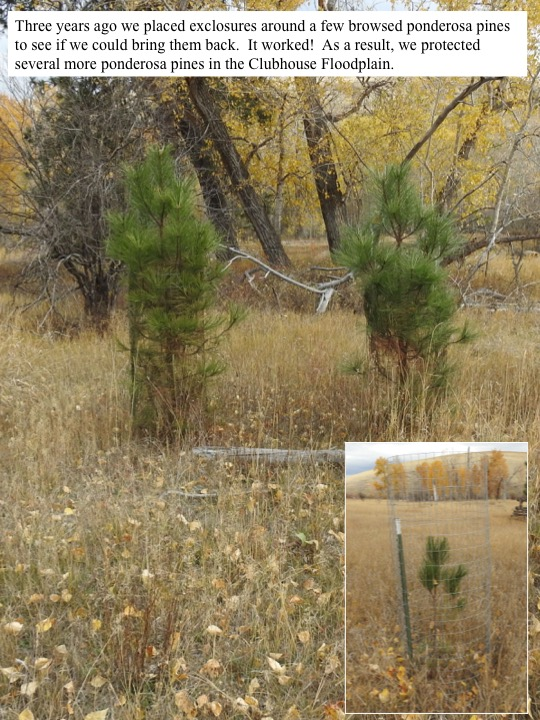 Three years ago we placed exclosures around a few browsed ponderosa pines to see if we could bring them back. It worked! As a result, we protected several more ponderosa pines in the Clubhouse Floodplain.
