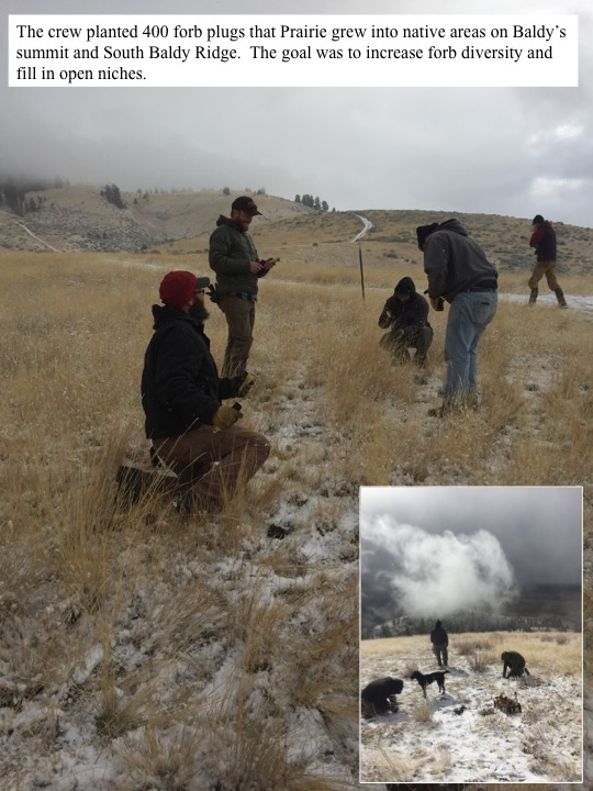 The crew planted 400 forb plugs that Prairie grew into native areas on Baldy's summit and South Baldy Ridge. The goal was to increase forb diversity and fill in open niches.