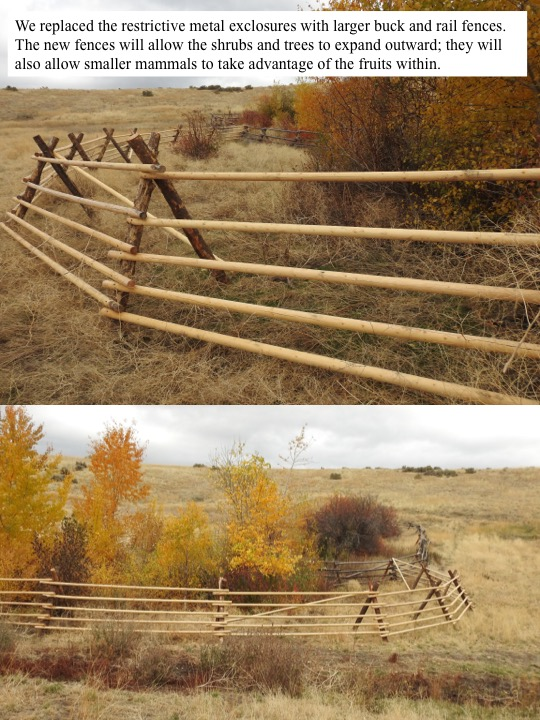 We replaced the restrictive metal exclosures with larger buck and rail fences. The new fences will allow the shrubs and trees to expand outward; they will also allow smaller mammals to take advantage of the fruits within.