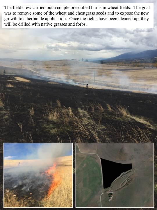The field crew carried out a couple prescribed burns in wheat fields. The goal was to remove some of the wheat and cheatgrass seeds and to expose the new growth to a herbicide application.