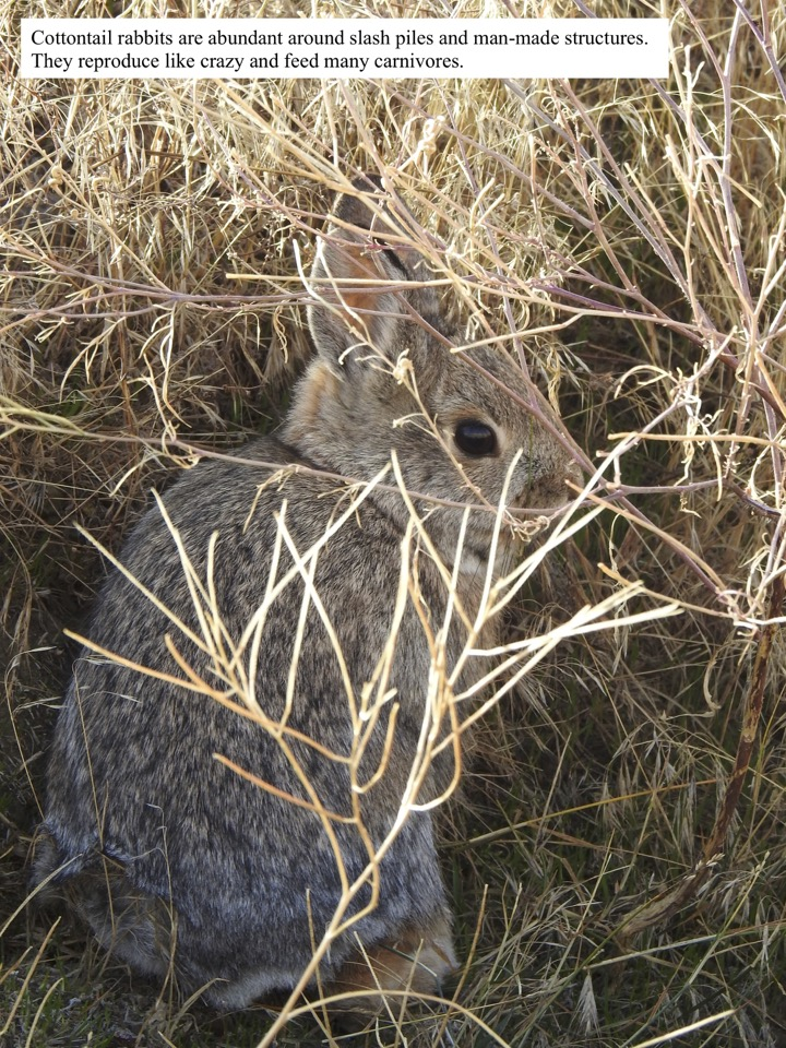 Cottontail rabbits are abundant around slash piles and man-made structures.