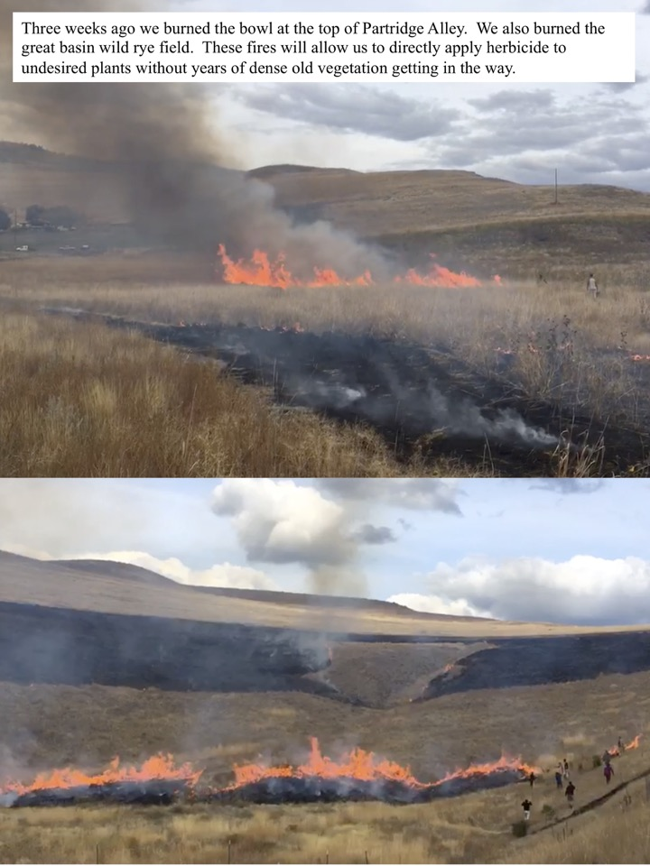 Three weeks ago we burned the bowl at the top of Partridge Alley. We also burned the great basin wild rye field.