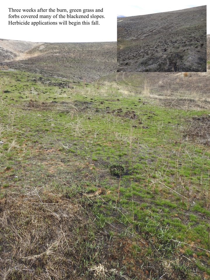 Three weeks after the burn, green grass and forbs covered many of the blackened slopes.