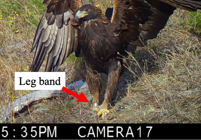 Numbers that identify the bird are etched into the band. Can you see the numbers?