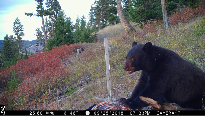 Between visits by the eagles, a black bear covered its face in organ juice and sucked down the remains.