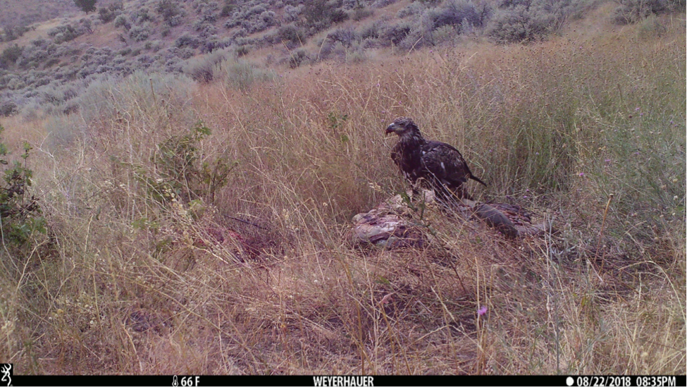 Miles away and a month earlier, an eagle arrived before a black bear too. Here, a juvenile bald eagle visited sagebrush country for an evening snack.