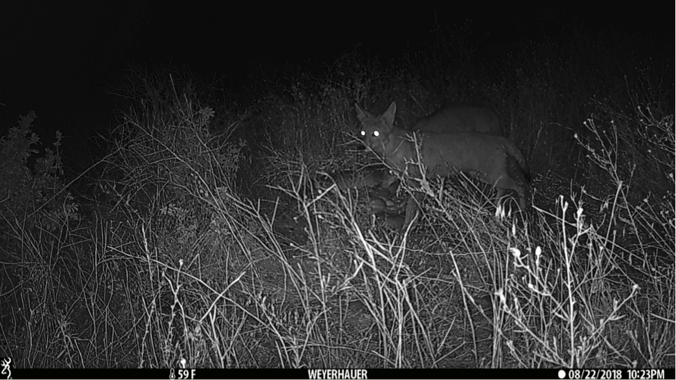 Before the black bear arrived, two coyotes investigated.