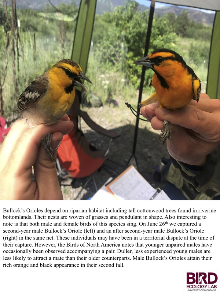 On June 26th we captured a second-year male Bullock's Oriole (left) and an after second-year male Bullock's Oriole (right) in the same net.