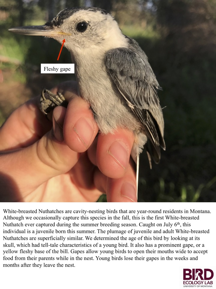 Although we occasionally capture this species in the fall, this is the first White-breasted Nuthatch ever captured during the summer breeding season.