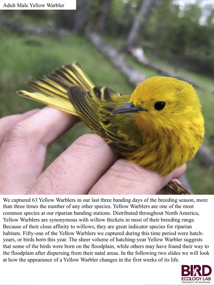 We captured 63 Yellow Warblers in our last three banding days of the breeding season, more than three times the number of any other species.