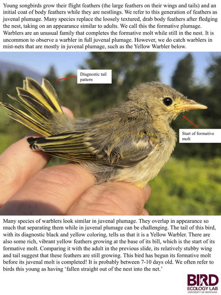 Many species of warblers look similar in juvenal plumage. They overlap in appearance so much that separating them while in juvenal plumage can be challenging.