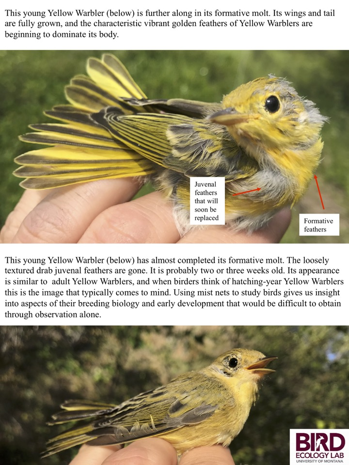 Using mist nets to study birds gives us insight into aspects of their breeding biology and early development that would be difficult to obtain through observation alone.
