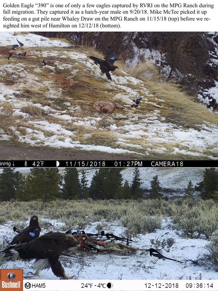 """Golden Eagle """"390"""" is one of only a few eagles captured by RVRI on the MPG Ranch during fall migration."""