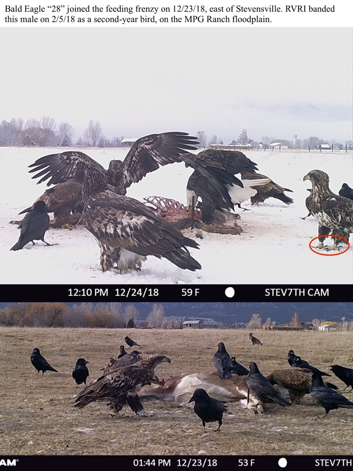 "Bald Eagle ""28"" joined the feeding frenzy on 12/23/18, east of Stevensville."