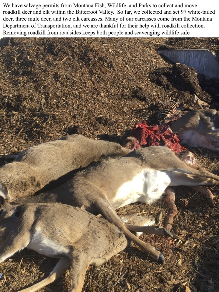 We have salvage permits from Montana Fish, Wildlife, and Parks to collect and move roadkill deer and elk within the Bitterroot Valley.