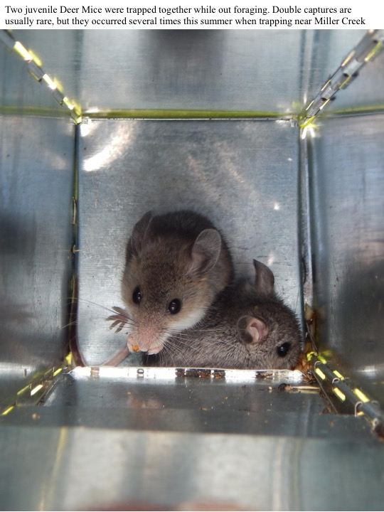 Two juvenile Deer Mice were trapped together while out foraging.