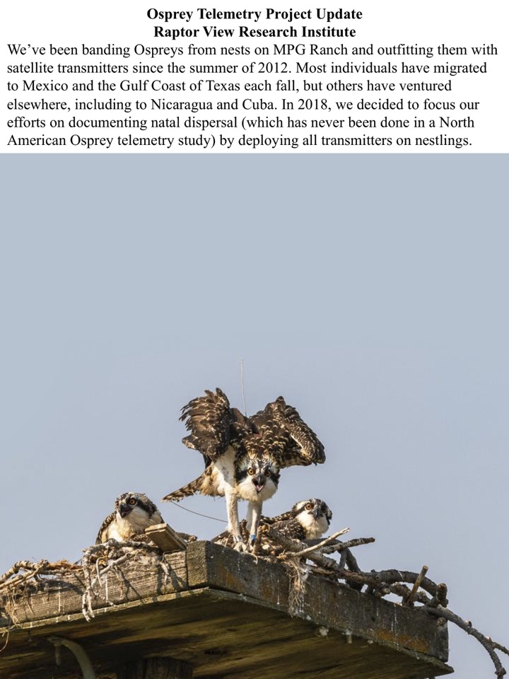 We've been banding Ospreys from nests on MPG Ranch and outfitting them with satellite transmitters since the summer of 2012.