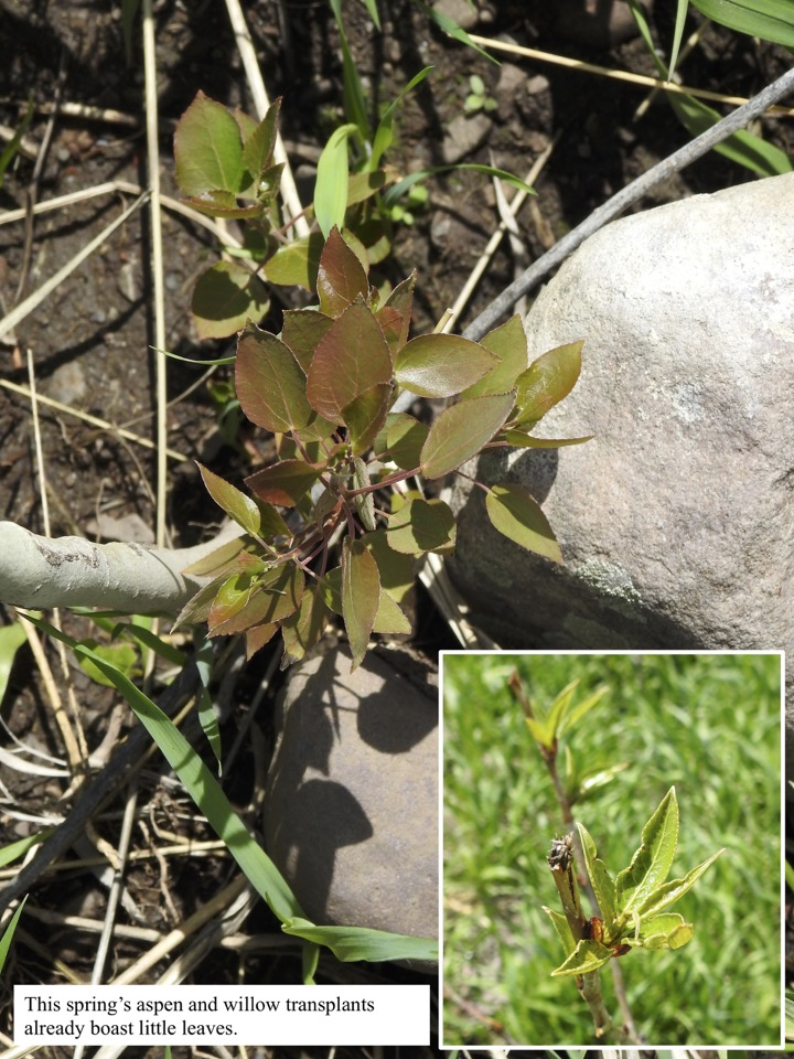 This spring's aspen and willow transplants already boast little leaves.
