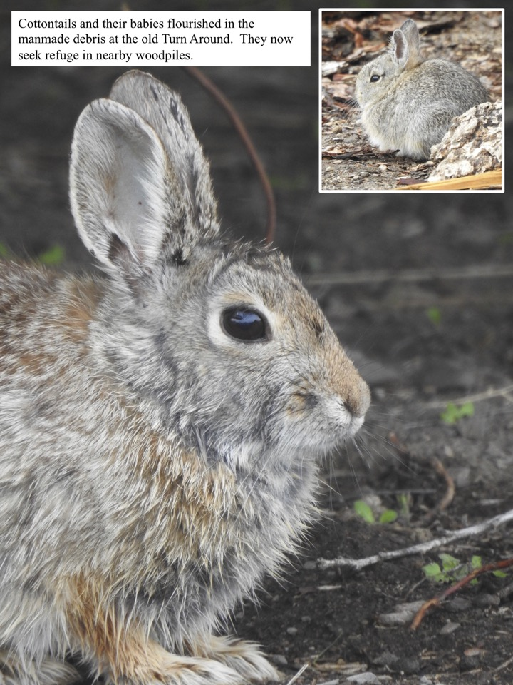 Cottontails and their babies flourished in the manmade debris at the old Turn Around.