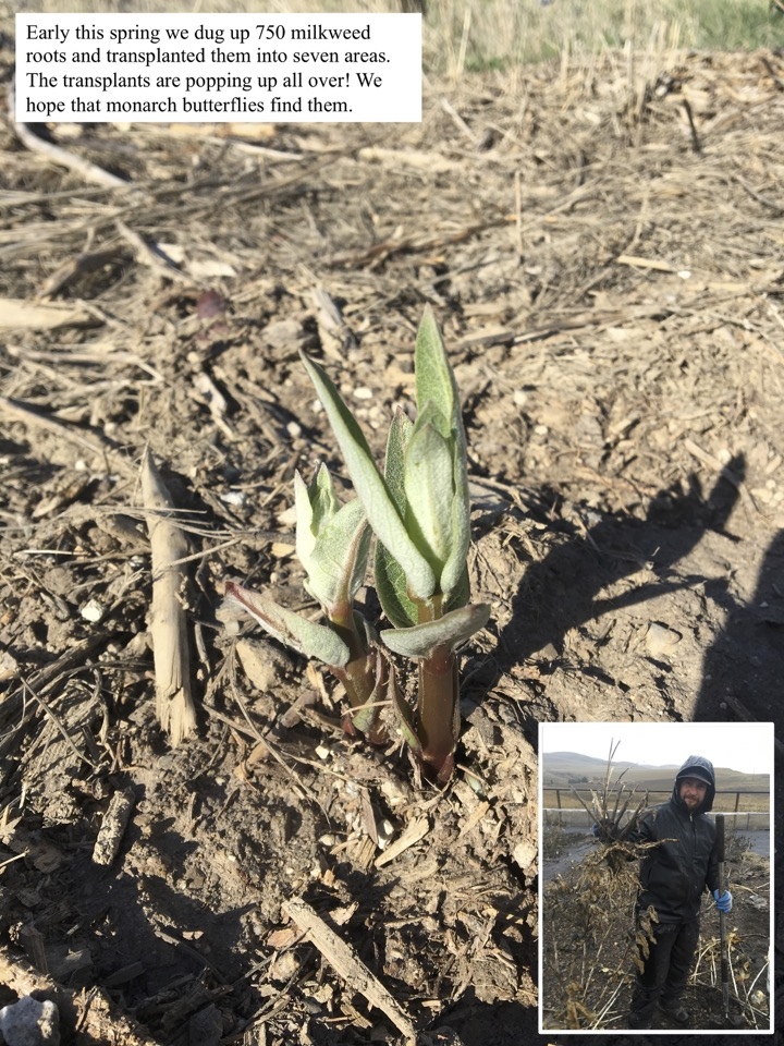 Early this spring we dug up 750 milkweed roots and transplanted them into seven areas