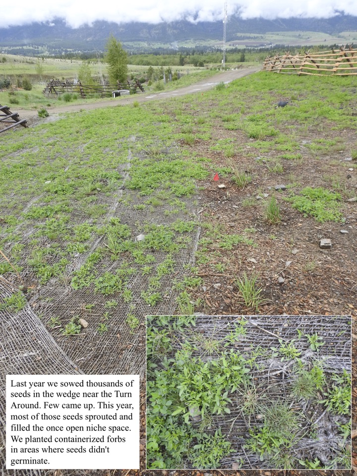 Last year we sowed thousands of seeds in the wedge near the Turn Around.