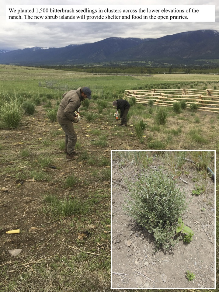 We planted 1,500 bitterbrush seedlings in clusters across the lower elevations of the ranch.