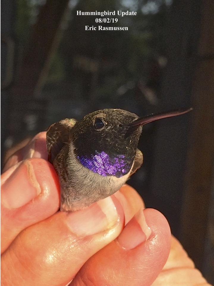 Hummingbird Update 08/02/19 Eric Rasmussen
