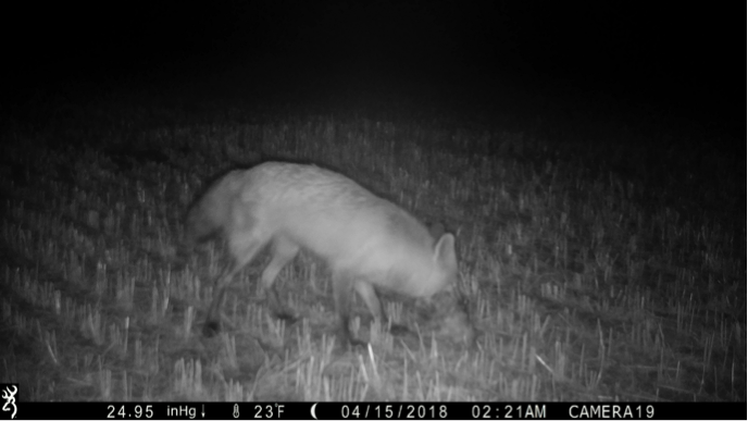 On average, scavengers like the fox below fully consumed or carried away carcasses in 24.5 hours.