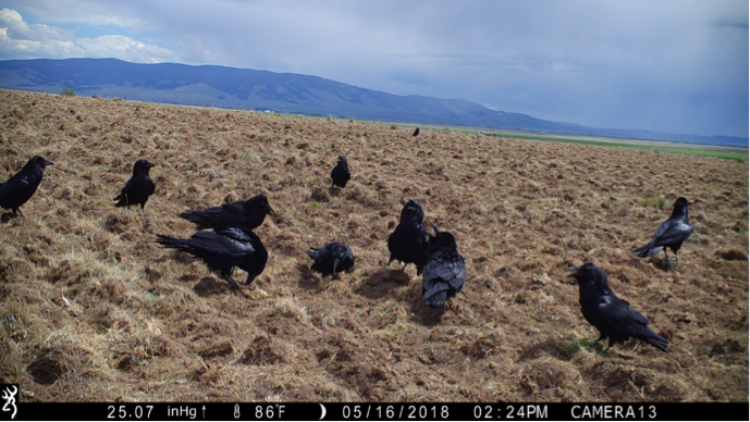 In White Sulphur Springs, MT, common ravens scavenged nearly every carcass even though hawks soared overhead.