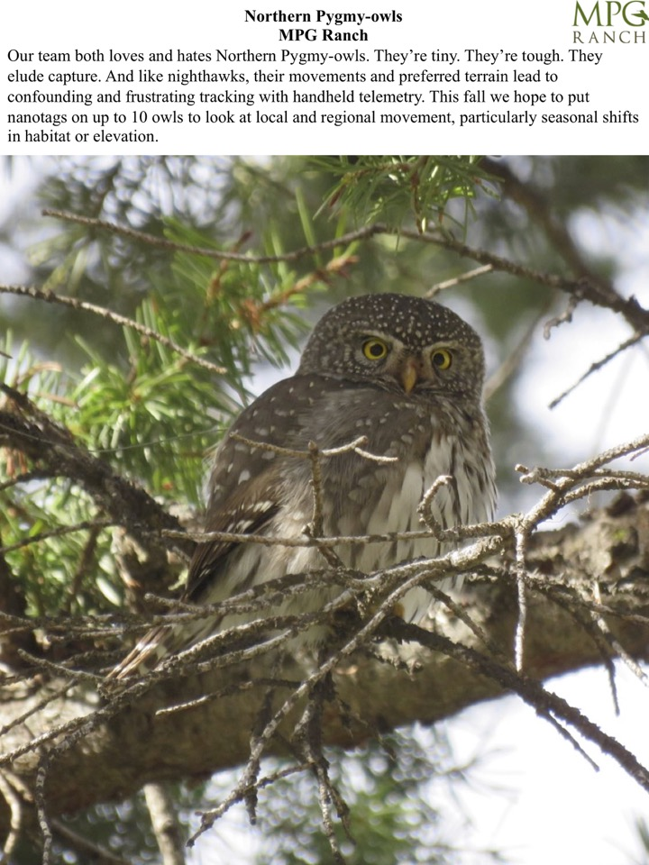 This fall we hope to put nanotags on up to 10 owls to look at local and regional movement, particularly seasonal shifts in habitat or elevation.