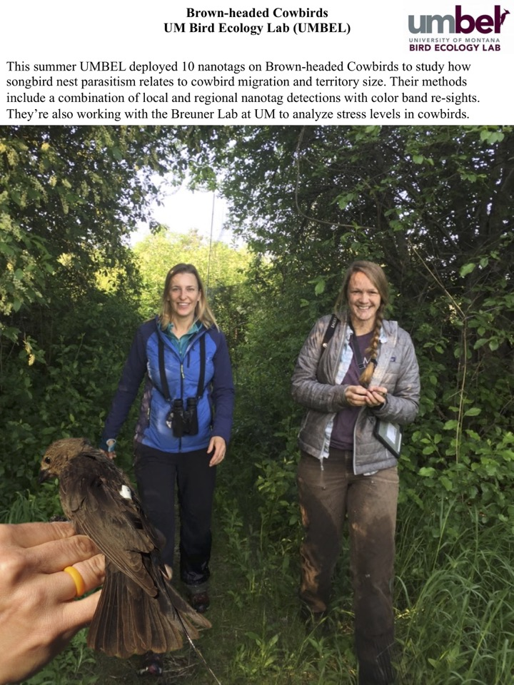 This summer UMBEL deployed 10 nanotags on Brown-headed Cowbirds to study how songbird nest parasitism relates to cowbird migration and territory size.