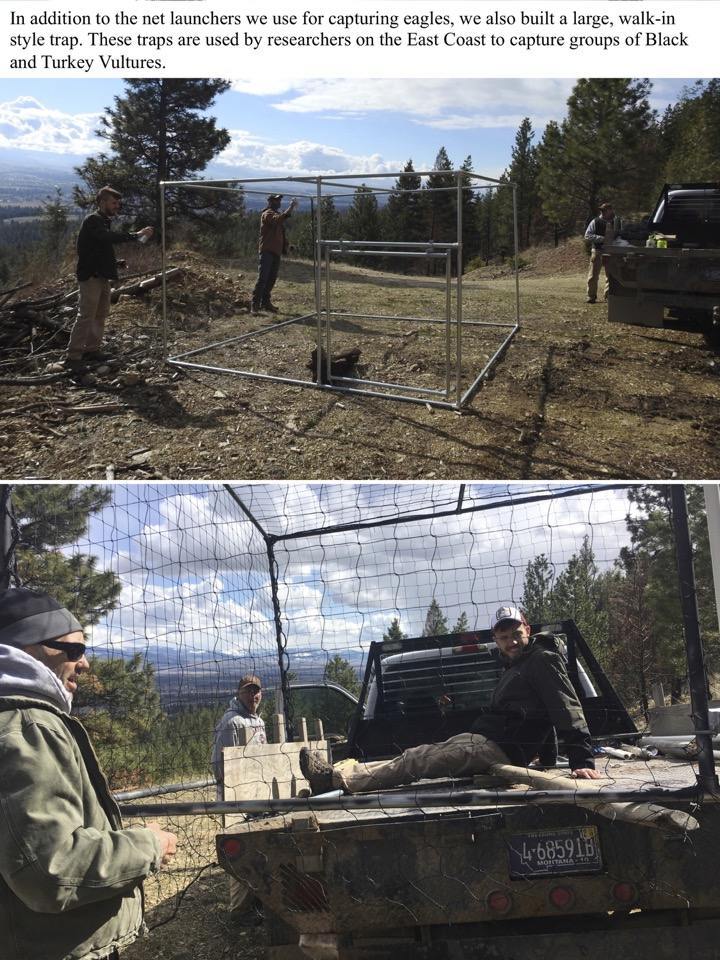 In addition to the net launchers we use for capturing eagles, we also built a large, walk-in style trap.