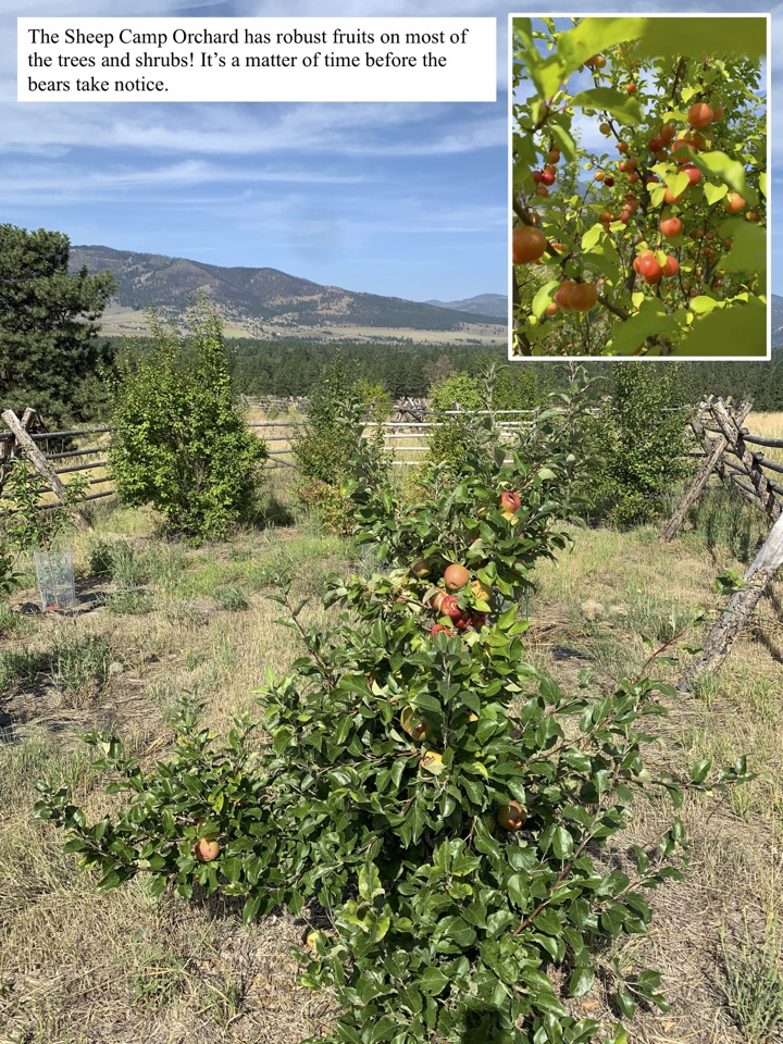 The Sheep Camp Orchard has robust fruits on most of the trees and shrubs!