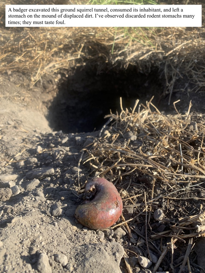 A badger excavated this ground squirrel tunnel, consumed its inhabitant, and left a stomach on the mound of displaced dirt.