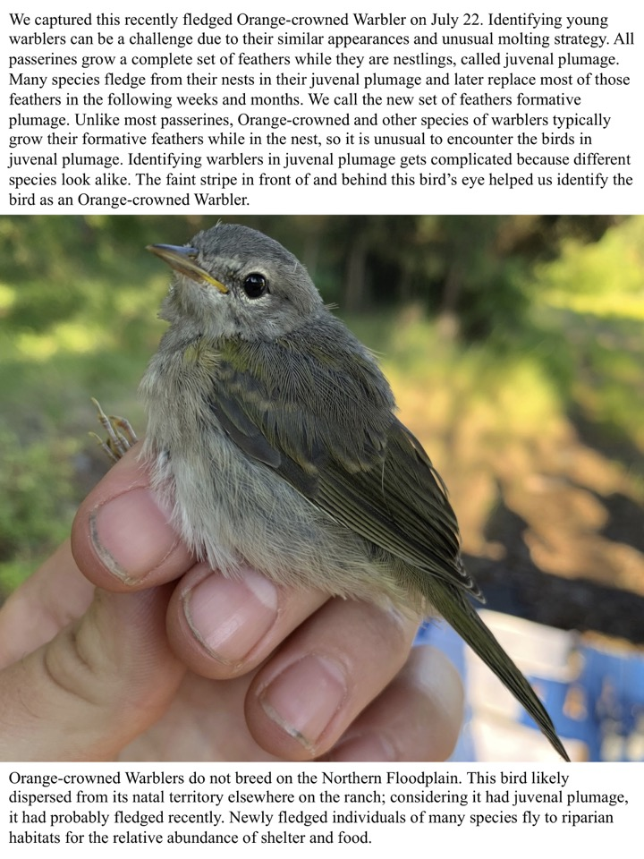 Identifying young warblers can be a challenge due to their similar appearances and unusual molting strategy.