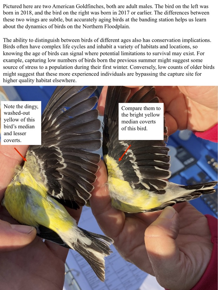 The differences between these two wings are subtle, but accurately aging birds at the banding station helps us learn about the dynamics of birds on the Northern Floodplain.