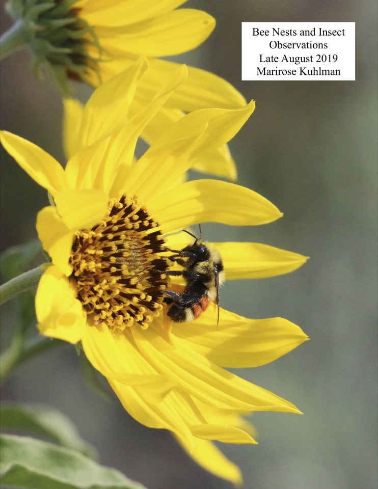Bee Nests and Insect Observations Late August 2019 Marirose Kuhlman